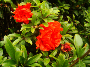 Punica granatum 'Chico' - Pomegranate (dwarf, double flowered)
