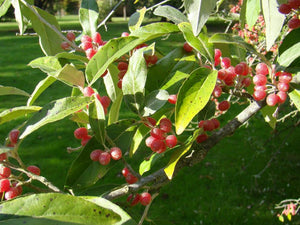 Elaeagnus umbellata, Japanese Silverberry or Autumn Olive