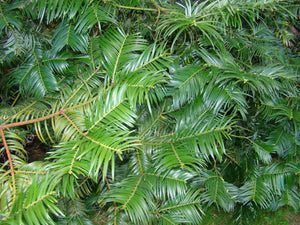 Cephalotaxus fortunei, Japenese Plum Yew, conifer, evergreen, plant, fruit