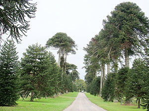 Araucaria araucana, Monkey Puzzle Tree, conifer, tree, garden, plant, evergreen