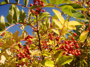 Zanthoxylum piperitum, Japanese Pepper Tree
