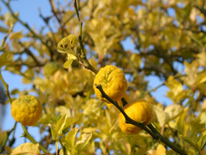 Poncinus trifoliata, Japanese Bitter Orange