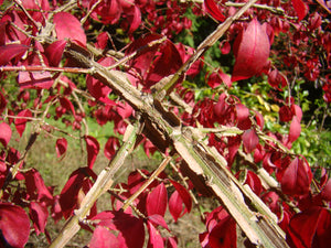Euonymus alatus - Winged (dwarf) Spindle x2
