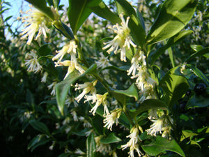 Sarcococca orientalis, Christmas Box , Large leaved