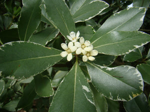 Pittosporum tobira - Japanese Cheesewood