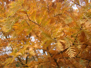 Metasequoia glyptostroboides x2 - Dawn Redwood