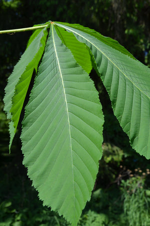 Aesculus turbinata, Japanese Chestnut, flowering tree, plant, fruit, garden