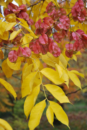 Koelreuteria integrifolia - Chinese Flame Tree, Golden Rain Tree