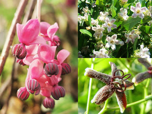 Flowering Climber / Vine Collection : Araujia, Periploca & Akebia