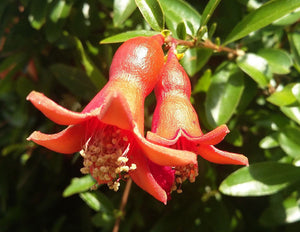 Punica granatum Compact, Pomegrante Single Red Flowered