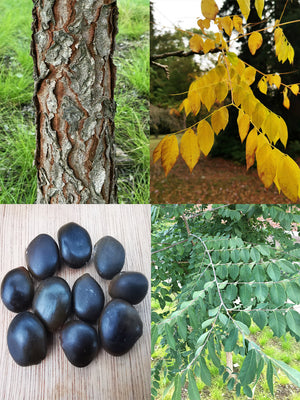 Gymnocladus dioica - Kentucky Coffee Tree