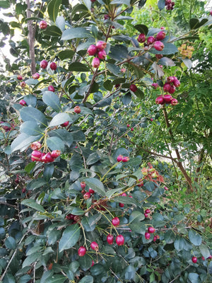 Syzygium smithii - Lilly Pilly - Jurassicplants Nurseries