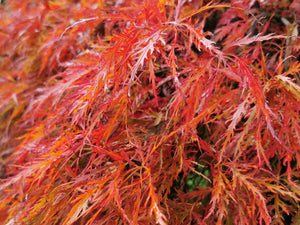Acer palmatum 'Dissectum' - Japanese Maple (cut leaved) - Jurassicplants Nurseries