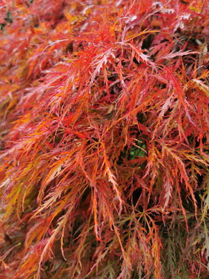Acer palmatum 'Dissectum' - Japanese Maple (cut leaved)
