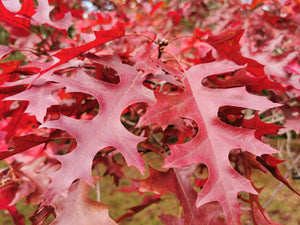 Quercus rubra - Red Oak - Jurassicplants Nurseries