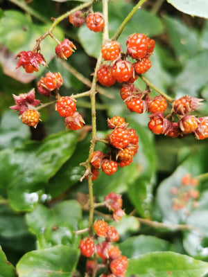 Rubus ichangensis - Long leaved Bramble
