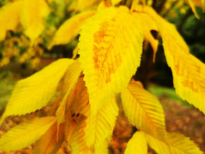 Acer carpinifolium - Hornbeam Maple - Jurassicplants Nurseries
