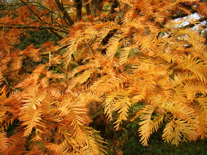 Metasequoia glyptostroboides - Dawn Redwood - Jurassicplants Nurseries