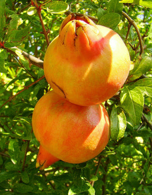 Punica Granatum Mollar De Elche, Seedless Pomegranate