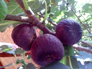 Ficus carica 'Scone' - Figtree Scone, Purple Fig - Jurassicplants Nurseries