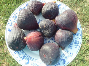 Ficus carica 'Scone' - Figtree Scone, Purple Fig
