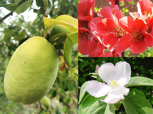 Quince Collection: Cydonia oblonga, Pseudocydonia sinensis & Chaenomeles japonica