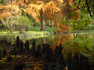 Taxodium distichum, Swamp Cypress