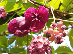 Akebia quinata - Chocolate Vine - Jurassicplants Nurseries