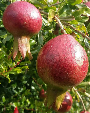 Punica granatum Wonderful, Pomegrante Single Red Flowered