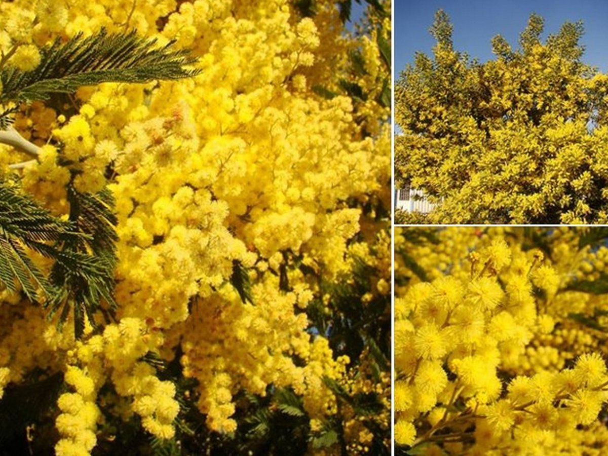 Acacia Dealbata Silver Wattle Yellow Mimosa Jurassicplants