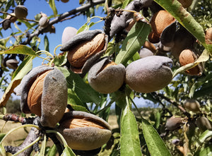 Amygdalus communis - Sweet Almond - Jurassicplants Nurseries