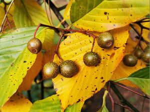 Sorbus caloneura - Beautifully Veined Mountain Ash
