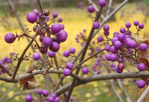 Callicarpa dichotoma, Purple Beautyberry