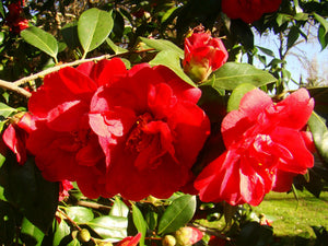 Camellia japonica, Japanese camella, Winter flowering, shrub, evergreen, scented, plant