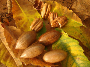 Carya illinoinensis - Pecan Nut - Jurassicplants Nurseries