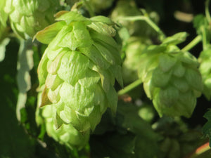 Humulus lupulus - Common Hop