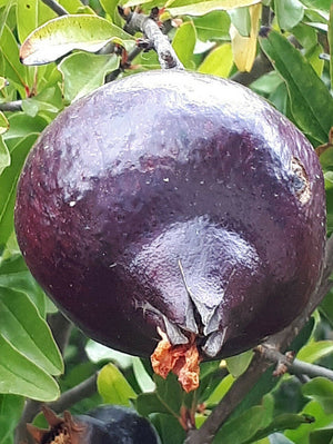 Punica granatum, Black Pomegrante