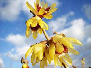 Chimonanthus praecox - Winter Sweet