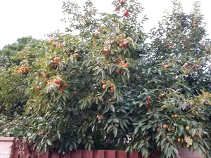 Diospyros Kaki, japanese Persimmon, Sharon Fruit