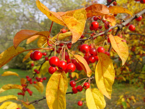 Malus hupehensis - Tea Crab Apple - Jurassicplants Nurseries