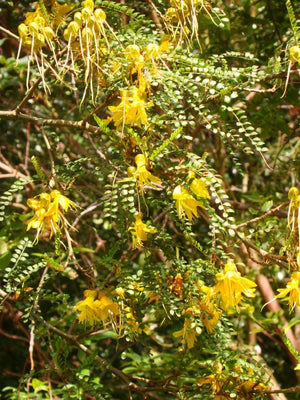 Sophora tetraptera - Larger Leaved Kowhai - Jurassicplants Nurseries