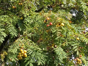 Sorbus domestica - True Service Tree, Sorb Tree - Jurassicplants Nurseries