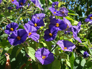 Lycianthes solanum  rantonetti - Blue Potato shrubs
