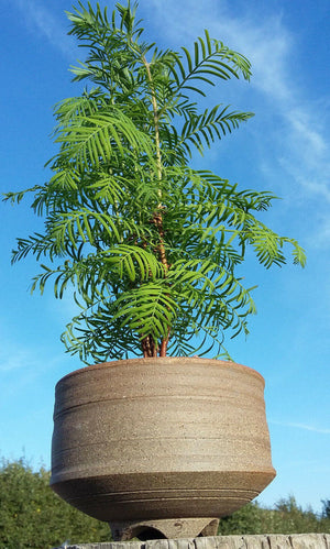 Metasequoia Glyptostroboides - Dawn Redwood + ceramic bonsai pot