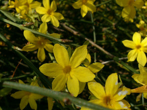 Jasminum nudiflorum, Winter Jasmine