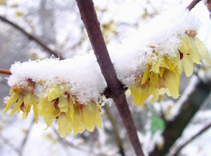 Chmonanthus praecox, Winter Sweet, scented, shrub, Winter flowering, patio