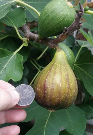 Ficus carica, Fig Tree Brown Turkey