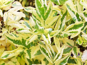 Sambucus nigra Madonna - Variegated Elderflower