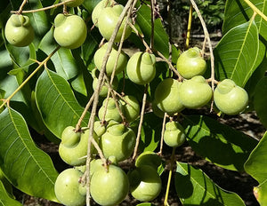 Sapindus mukorossi – Indian Soapberry, Washnut