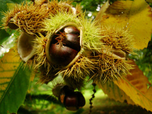 Castanea sativa, Sweet Chestnut Giant